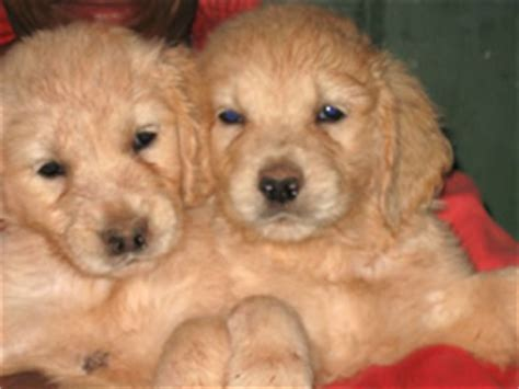 golden retriever breeders south africa best golden retriever breeders in south africa photo
