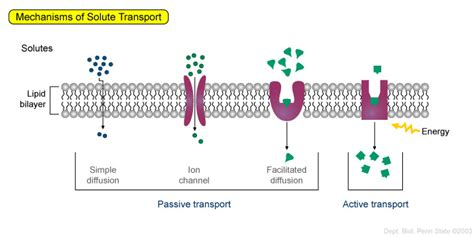 passive  active transport biolw fall confluence