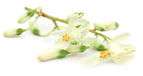 fiore commestibile fiore commestibile di moringa immagini stock immagine