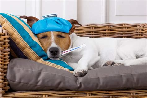 puppy flu ask the vet faqs about the canine flu the dogington post