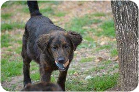 morgan setter dog morgan adopted puppy new boston nh labrador