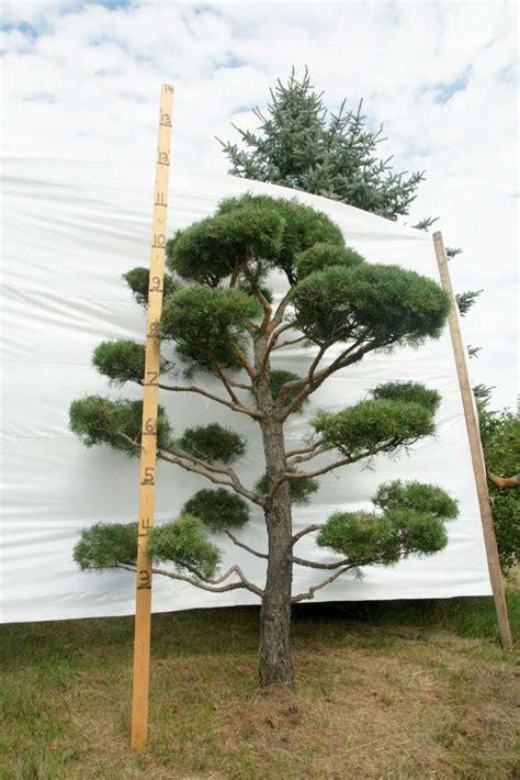 scotch pine topiary 187 scotch pine topiary tree 84 plants beautiful nursery