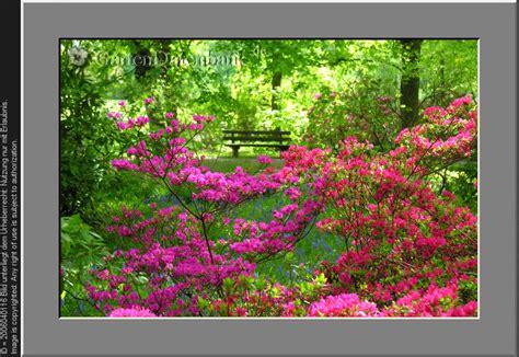 Britzer Garten Rhododendron by Rhododendren Und Azaleen Bilder Fotos Rhododendron