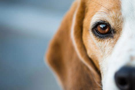 eye problems in dogs 5 common eye problems in dogs healthy paws