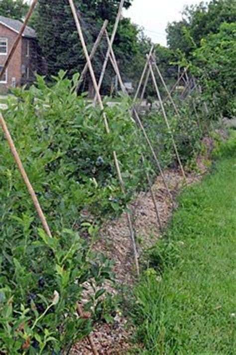 protecting berries  birds blueberries raspberries