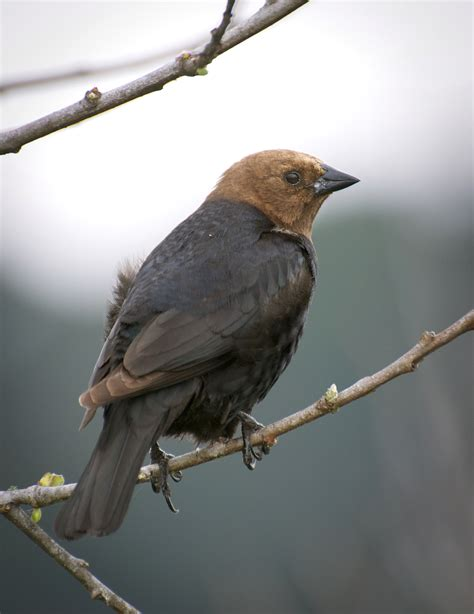 nw bird blog brown headed blackbird