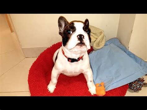 puppy has hiccups puppy trying to bark for the time funnydog tv