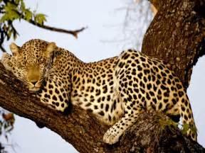 Jaguar Cat Weight Leopard Article Serengeti Animal Tracker