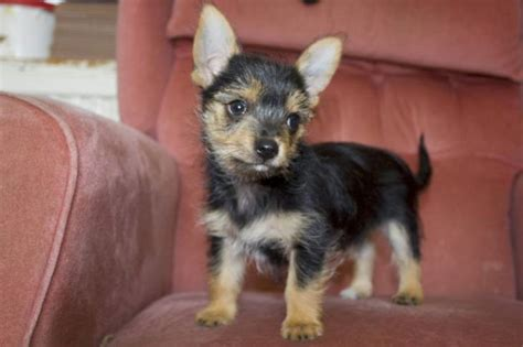 chiwawa yorkie puppies yorkie chihuahua mix all about the fiesty chorkie 1 info