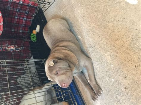 shar pei puppies for adoption much loved shar pei for adoption lancashire pets4homes
