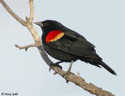 red winged blackbird red winged blackbirds pinterest