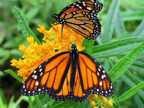 imagenes de mariposas monarcas pulg 243 n fotos de mariposas