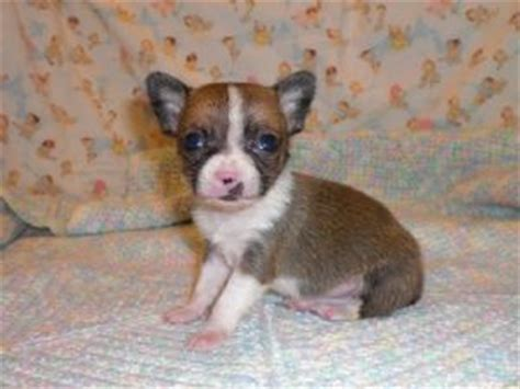 free chihuahua puppies in indiana chihuahua puppies availble for adoption for sale adoption from indianapolis indiana