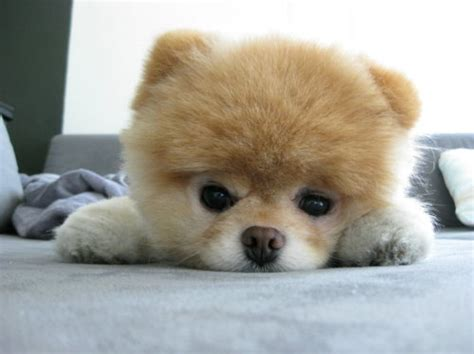 is boo the a pomeranian boo the cutest pomeranian in the world amazing things