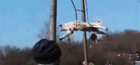 trichane na kuche geenstijl cultuur honden slingeren in bulgarije