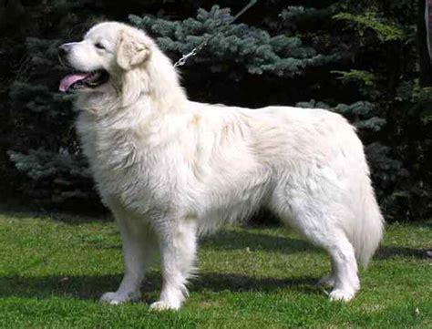 White Fluffy Dog Big   Dog : Pet Photos Gallery#en2ZadNkAQ