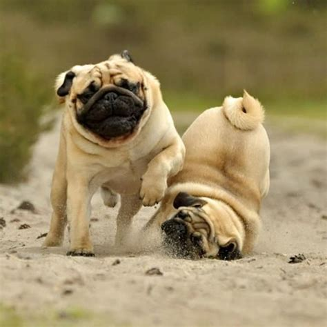 real pugs real pugs a quot well placed quot can insure a win pugs not drugs