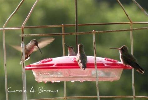 is sugar bad for hummingbirds