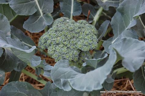 Gardening Broccoli Growing Broccoli In The Garden Growing The Home Garden