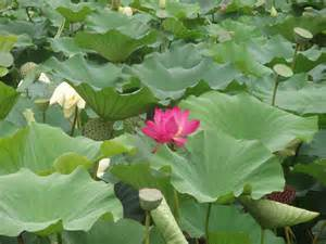 Lotus Planting Nasa Lotus Plant Inspired Dust Busting Shield To Protect