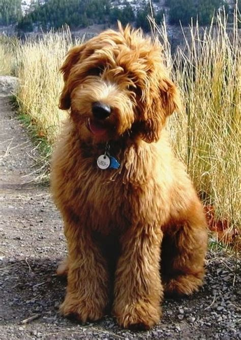 doodle puppy types 25 best ideas about doodle breeds on
