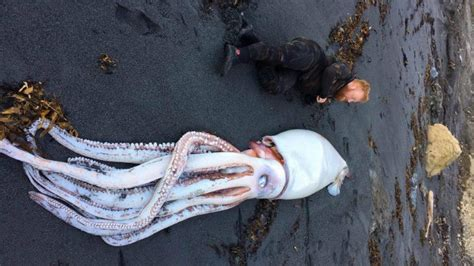 foot giant squid washes    zealand beach