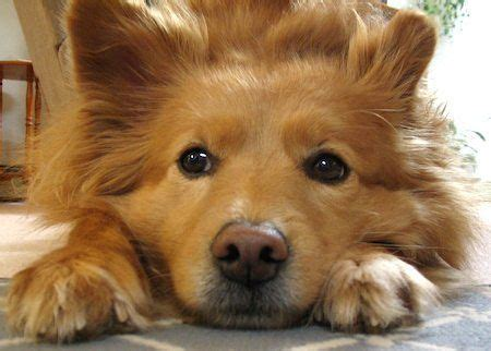 american eskimo golden retriever mix 8 best golden chow images on doggies chow chow and chow chow mix