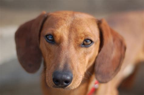 pictures of wiener dogs dachshund photo and wallpaper beautiful dachshund pictures