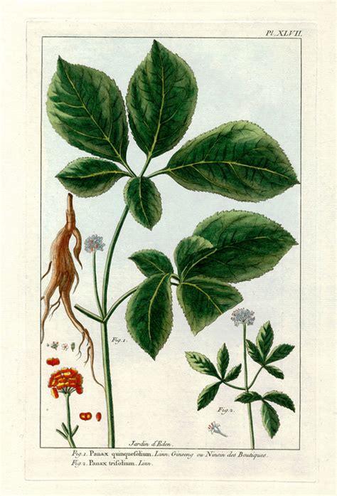 Shoo Ginseng asian ginseng cut root panax ginseng luminescents