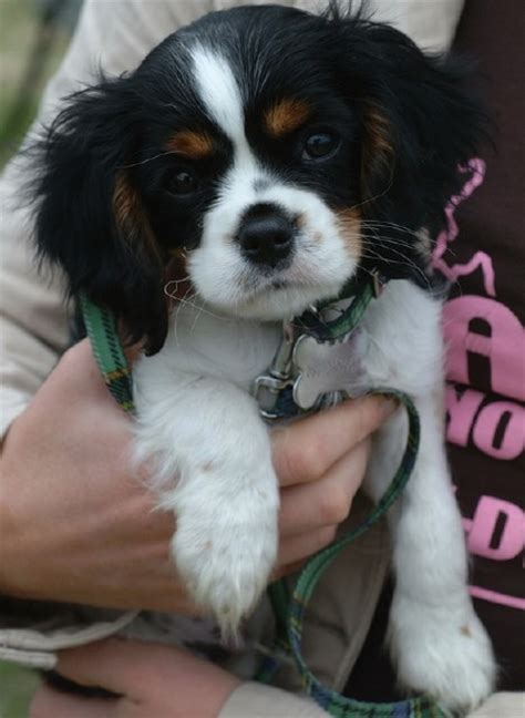 charles puppy tricolor cavalier king charles spaniel puppies