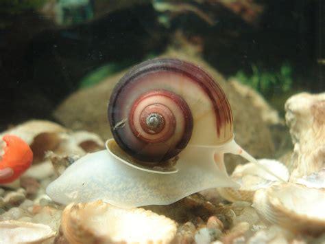 Schnecken Im Aquarium Halten by Schnecken Im Aquarium Arten Haltung Und Informationen