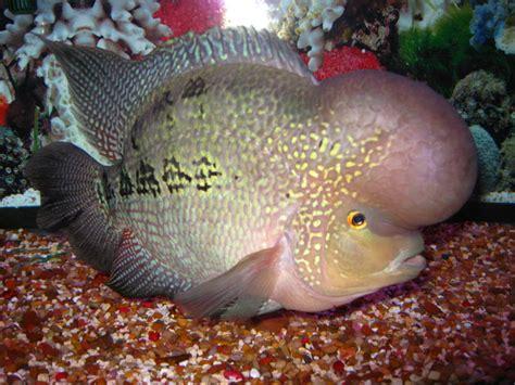 Bibit Ikan Koi Grade A fish pictures flowerhorn cichlid louhan