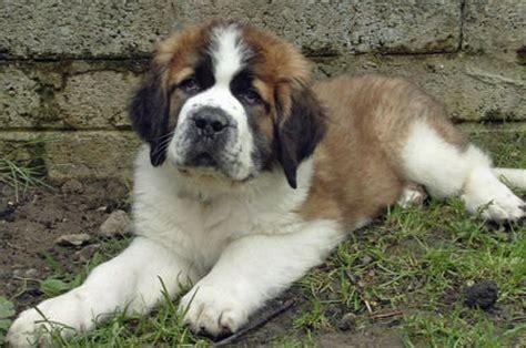 how to a st bernard how to draw a bernard puppy st bernard puppy step by step breeds picture
