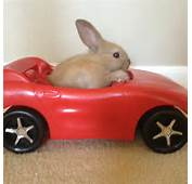 Bunnies In A Car Our Baby Bunny Flame Is Driving His New  Just