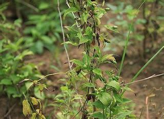 khasiat tanaman stemona  kesehatan khasiat