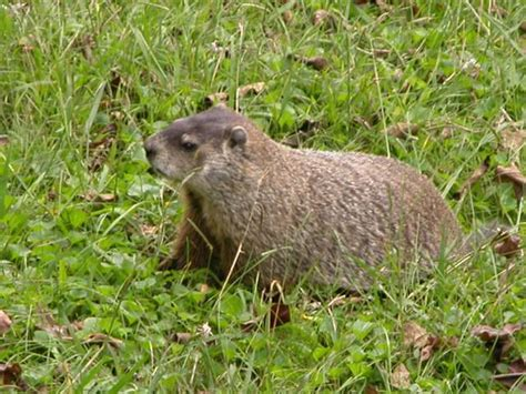 groundhog in backyard this large groundhog a k a woodchuck marmota monax was nibbling violet leaves