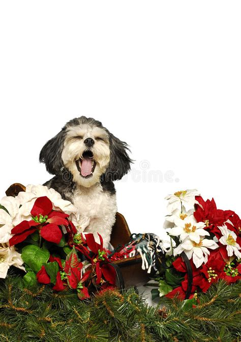 singing shih tzu singing shih tzu puppy royalty free stock images image 24328629