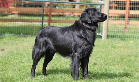 flat coated retrievers flat flat coated retriever breed information
