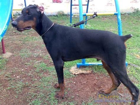 Potong Ekor Anjing Dunia Anjing Jual Anjing Doberman Pinscher Anjing