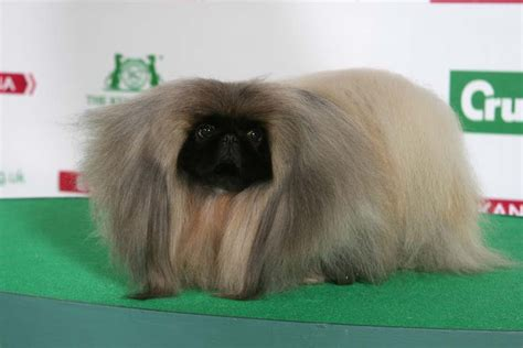 crufts pomeranian crufts 2014 show march 6 9