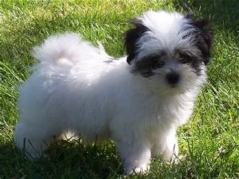 havanese for adoption in arkansas havanese puppies in oregon