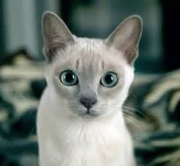 tonkinese colors tonkinese cat colors www pixshark images galleries