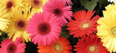imagenes flores gerberas fotograf 237 a dos mujer gerbera mujer urbana