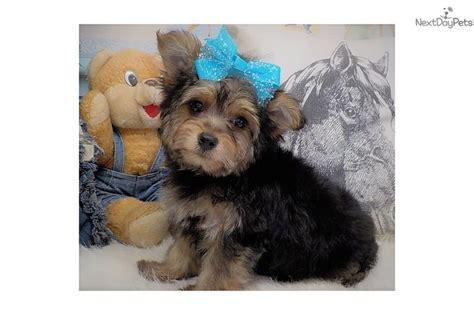 yorkie poo missouri 25 best ideas about yorkie poo puppies on terrier puppies