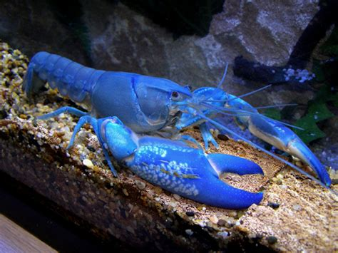 cherax destructor budidaya lobster lobster air tawar lobster lobsters