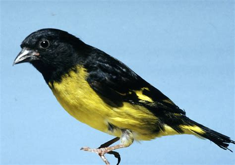 file carduelis xanthogastra jpg wikimedia commons