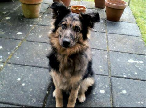 australian german shepherd puppy german shepherd x australian shepherd thetford norfolk pets4homes