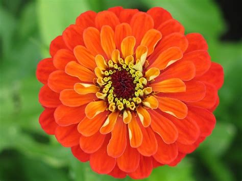 fiori zinnie flower zinnia orange