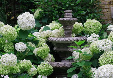 annabelle hydrangea the graceful gardener