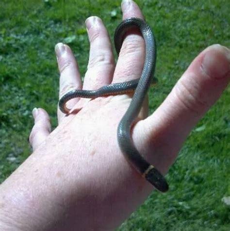 northern ring neck snake diadophis punctatus edwardsii